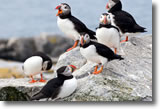 The Puffins of Eastern Egg Rock