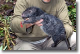 Bosavi Woolly Rat, photo courtesy of Bruce M. Beehler/AFP/Getty Images